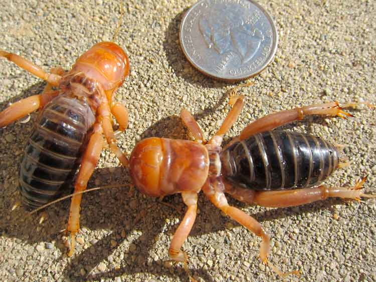 potato bug roly poly