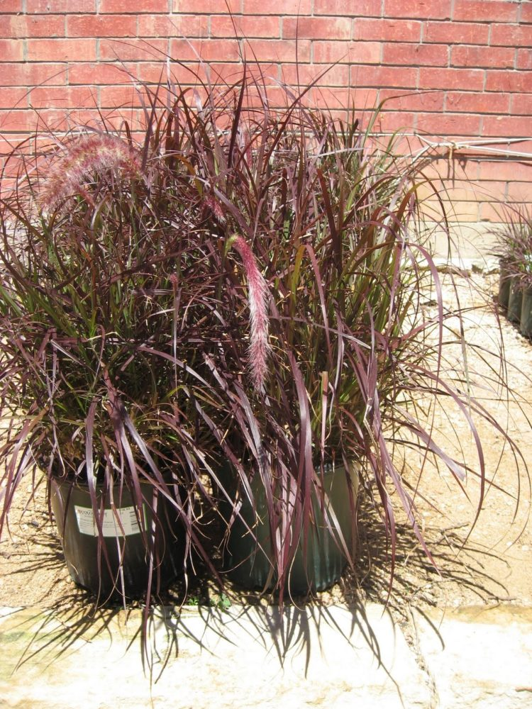 purple fountain grass for cats