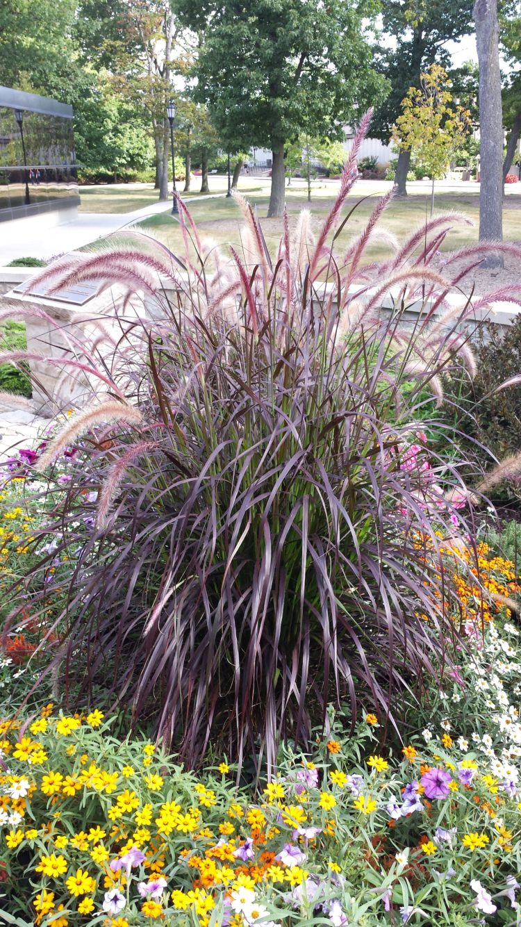 purple fountain grass for containers