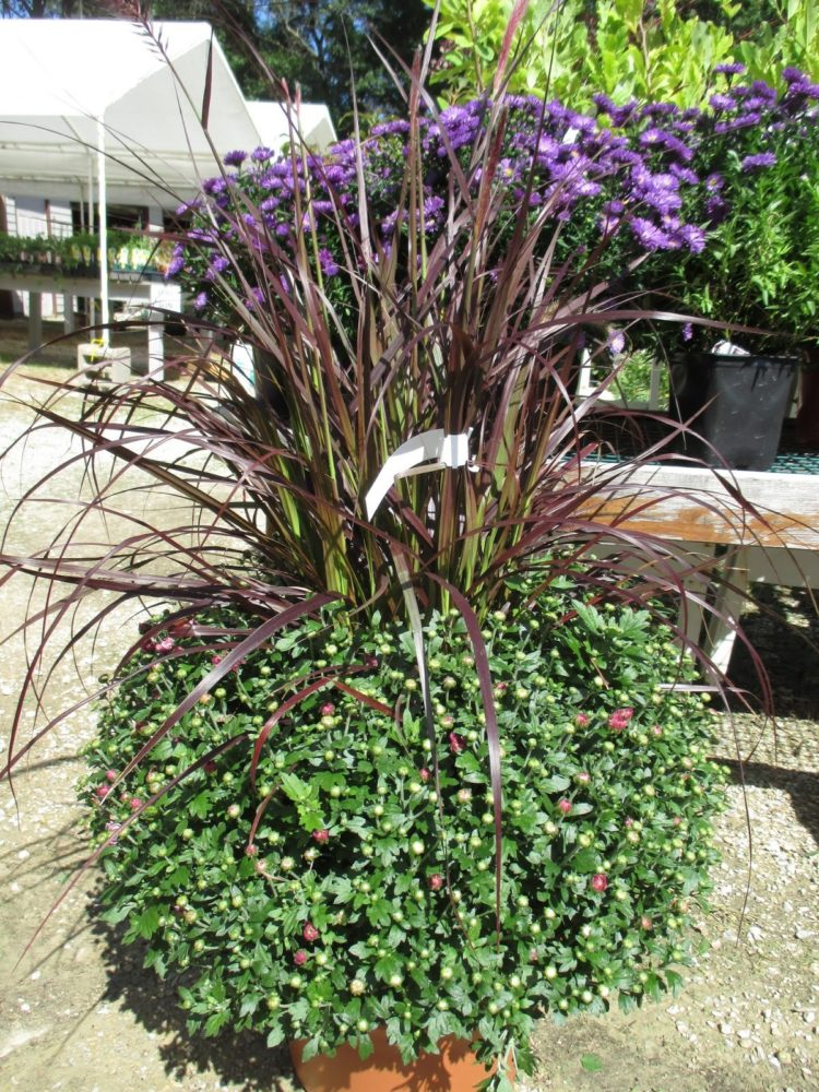 purple fountain grass growth rate