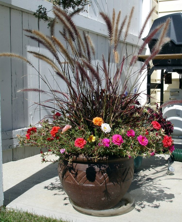 purple fountain grass images