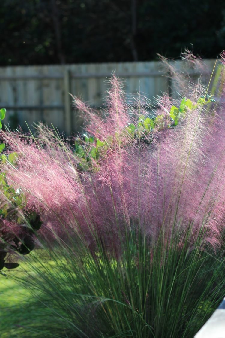pink muhly grass hedge