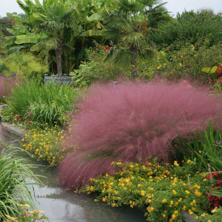 pink muhly grass images