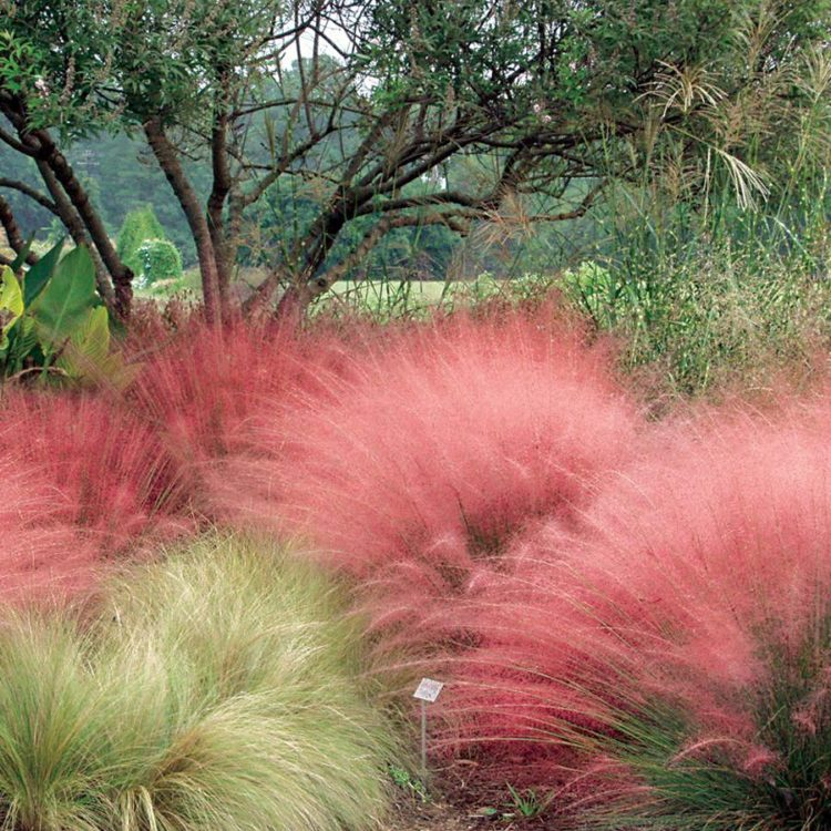 pink muhly grass in landscape