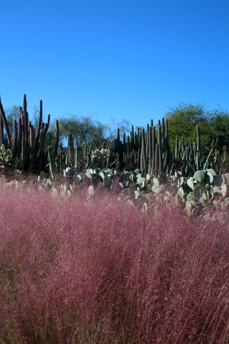 pink muhly grass in winter