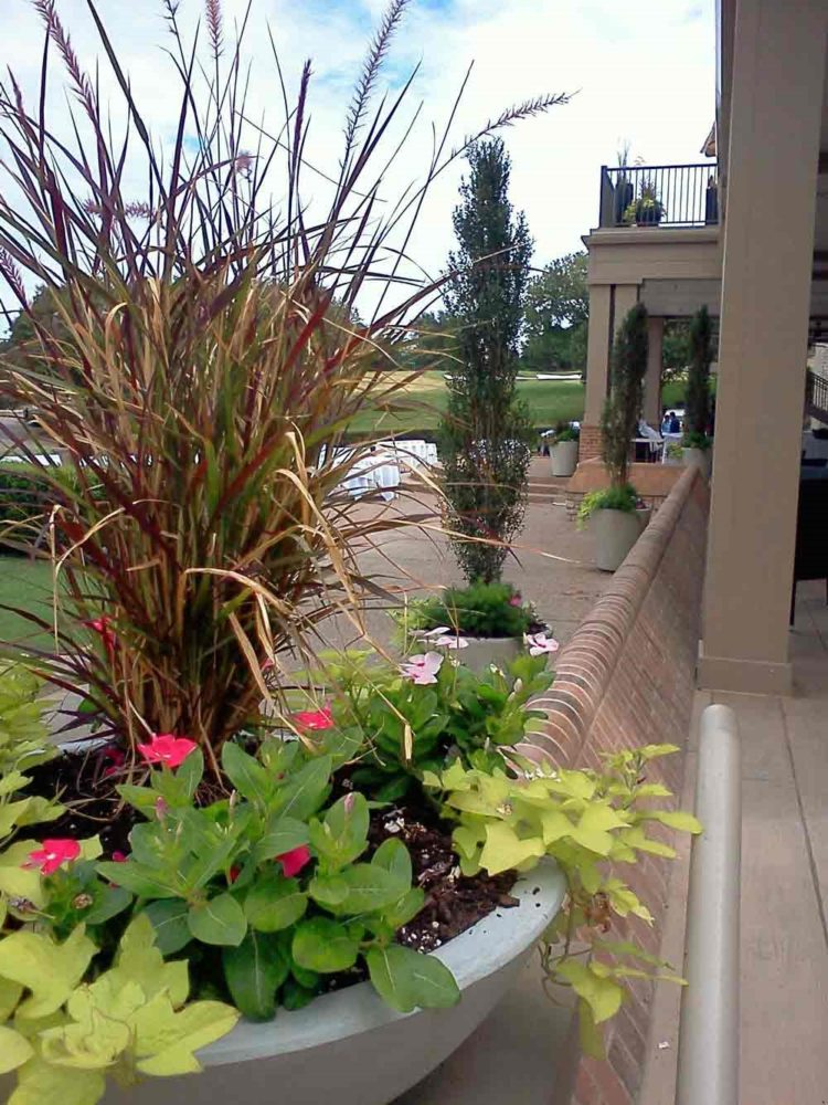 purple fountain grass lowes