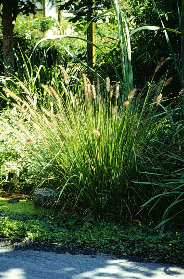fountain grass garden