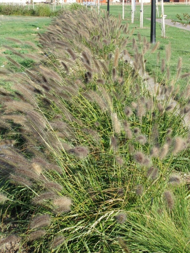 foxtail grass harmful to dogs