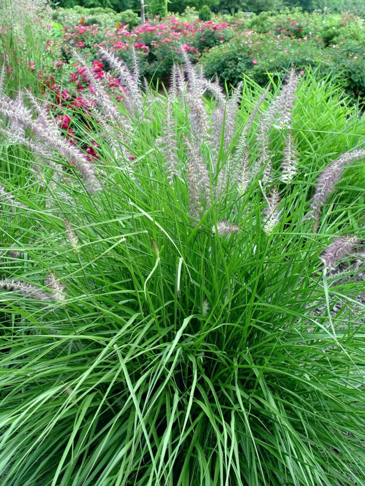 fountain grass green