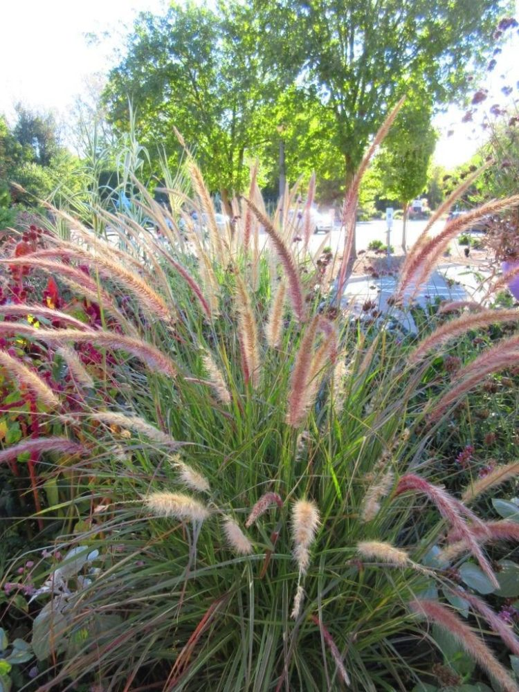 fountain grass hameln