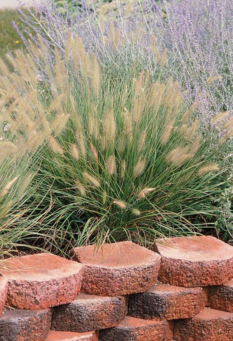 fountain grass in landscaping