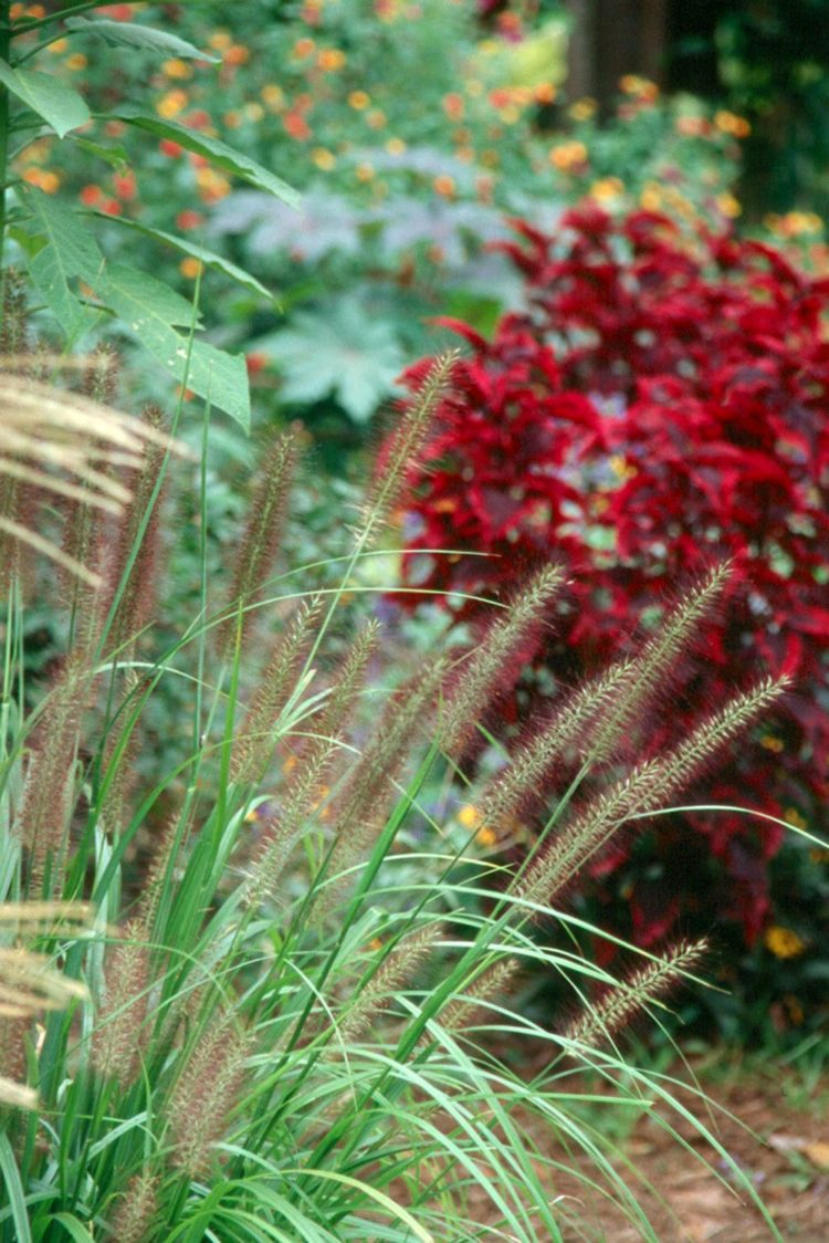 fountain grass in lawn