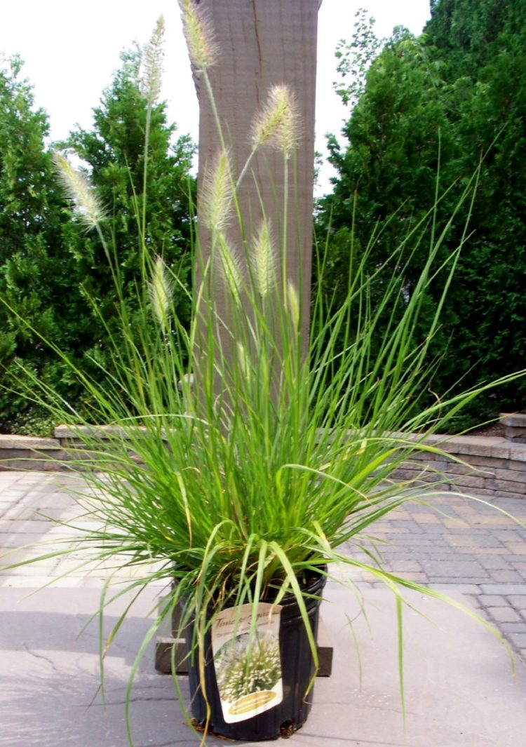 fountain grass invasive species