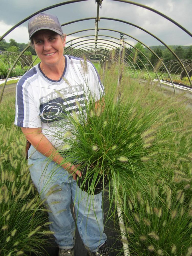fountain grass large