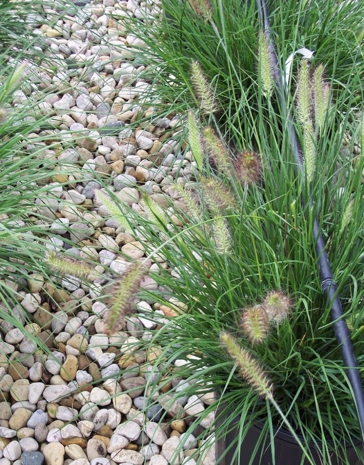 fountain grass maintenance
