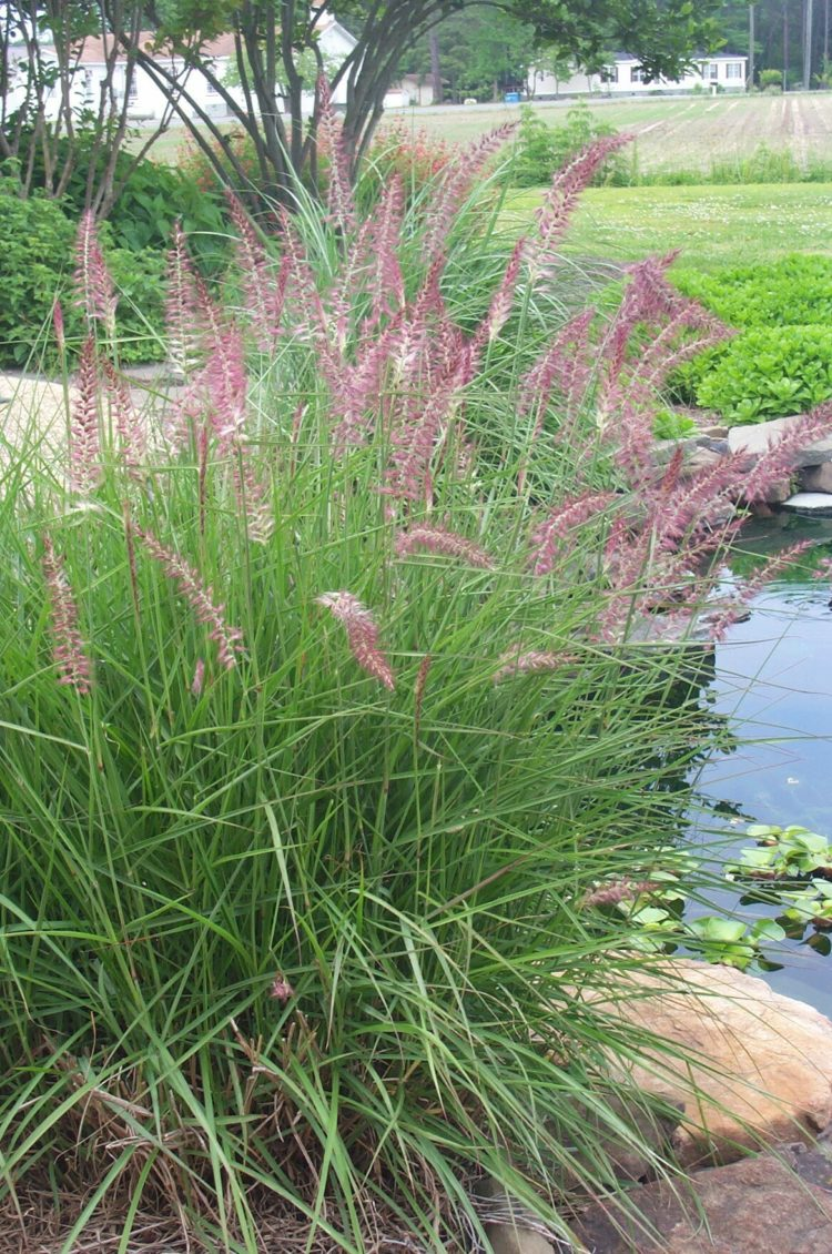 fountain grass michigan