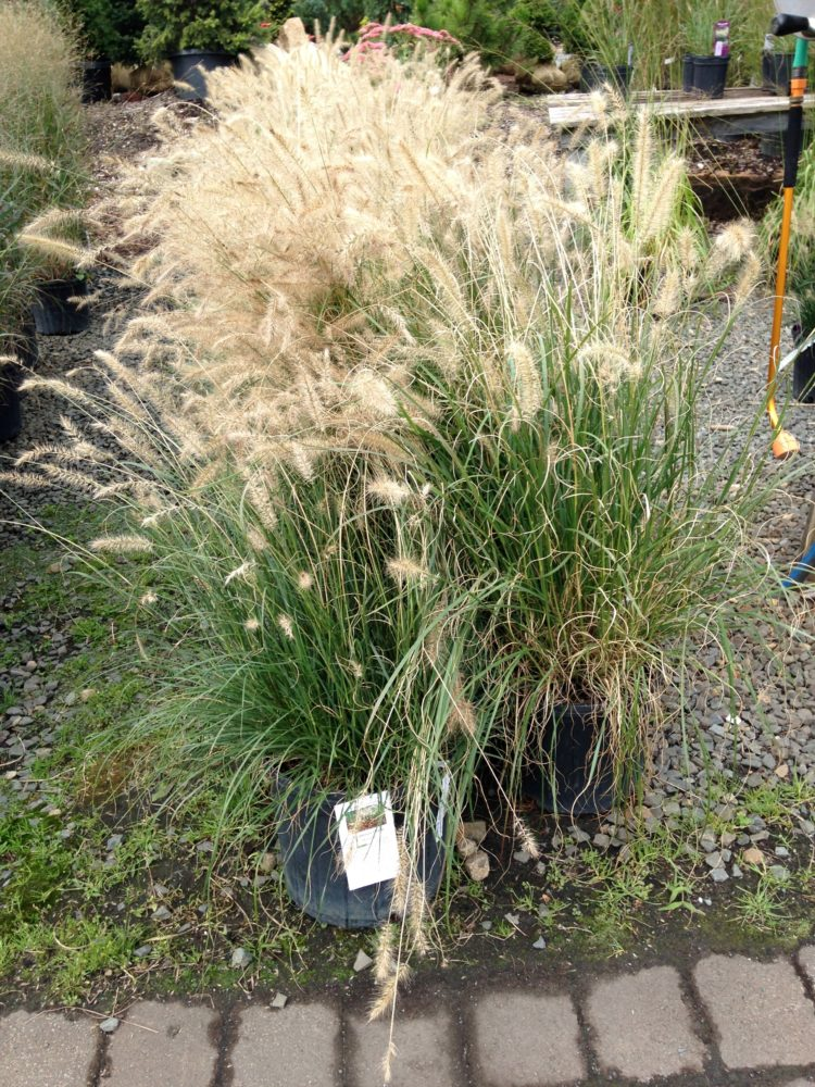 fountain grass miscanthus