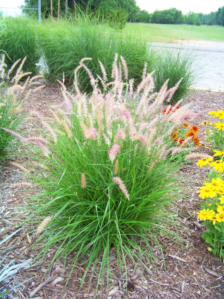 fountain grass native
