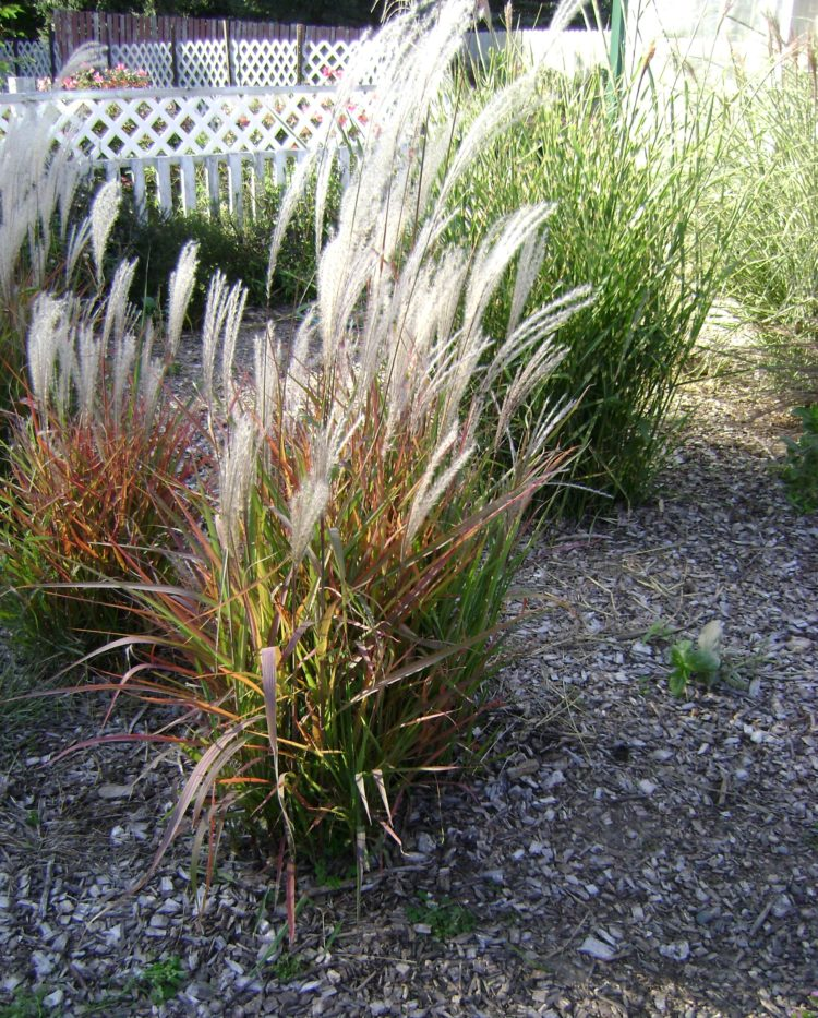 fountain grass neighborhood