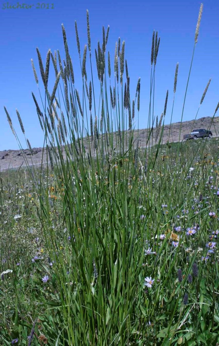 foxtail grass killing dogs