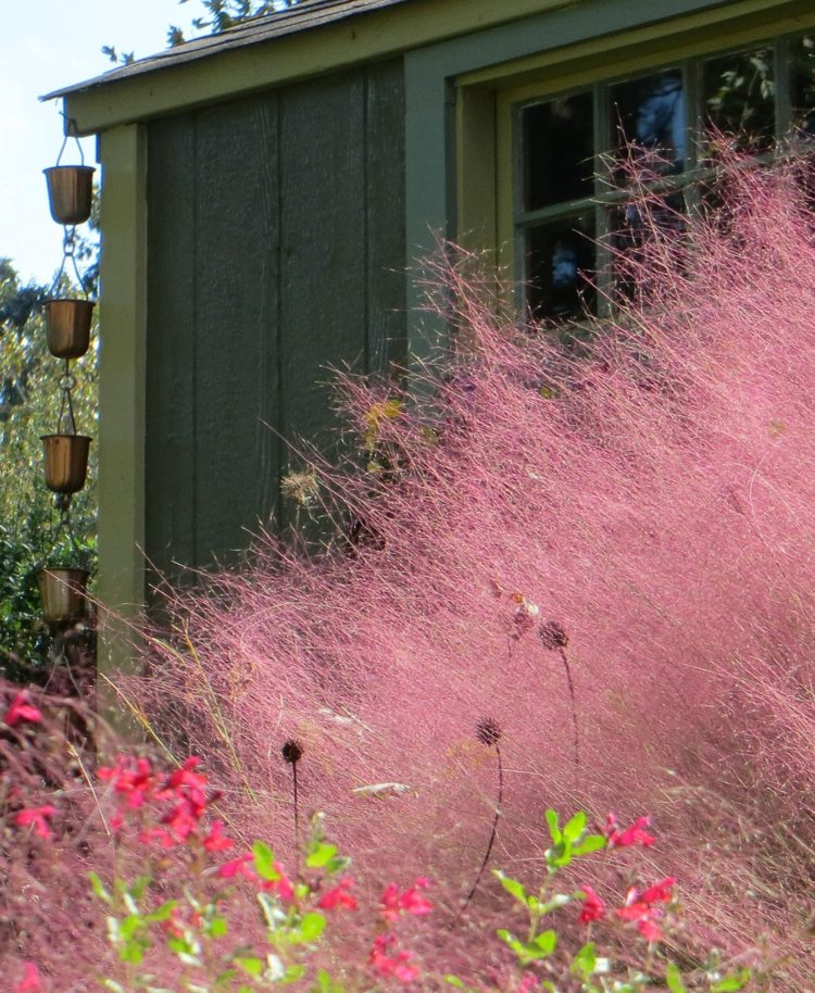 pink muhly grass not growing