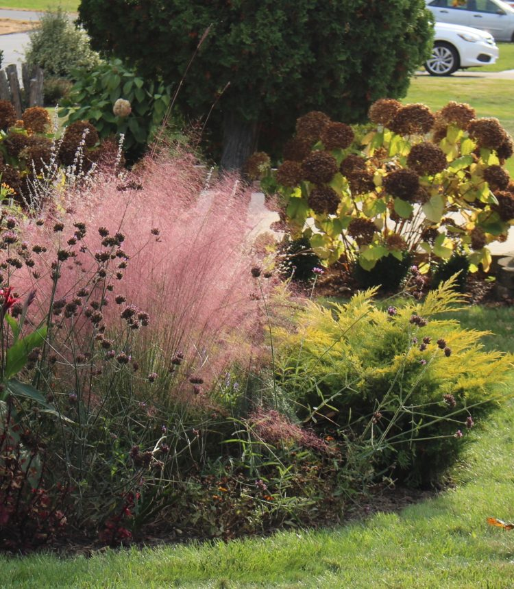 will pink muhly grass grow zone 5